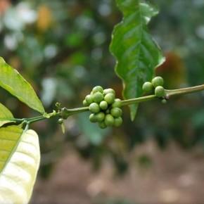 Все про кофе на Бали!