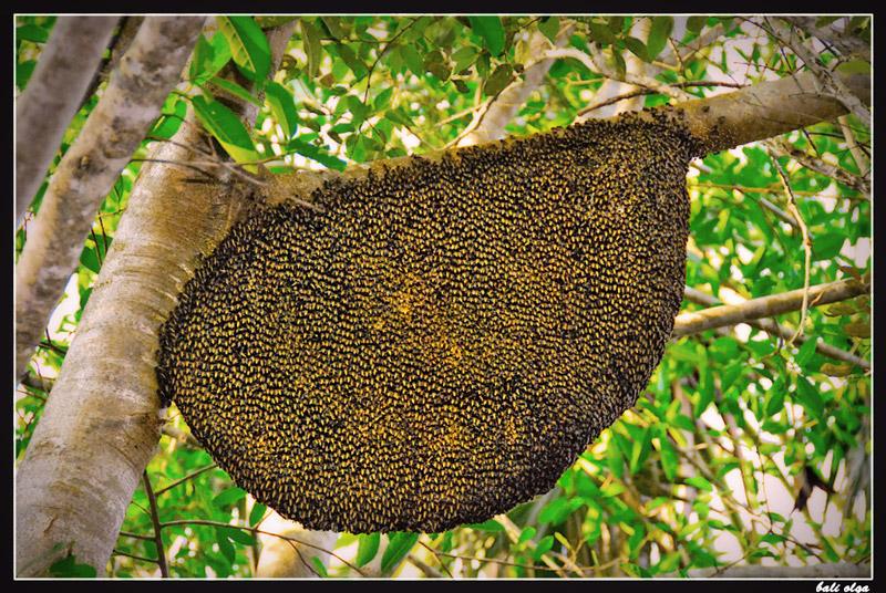 дикие пчелы о.Ринча