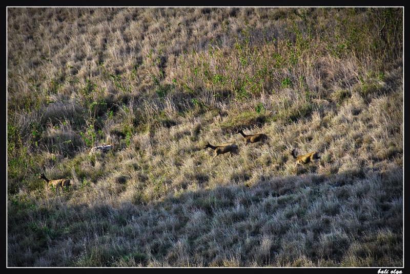 Тиморские олени